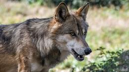 Entlaufener Wolf aus dem Wildpark Knüll ist tot