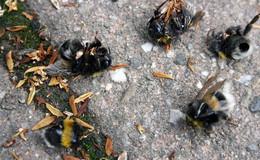 Tod unter blühenden Linden: Hungrige Hummeln verenden an Nektarquellen