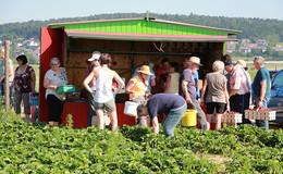 Perfekte Wetterbedingungen: Hochsaison auf dem Erdbeerfeld bei Bauer Würfl