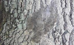 Vorsicht, Eichenprozessionsspinner: Raupen an verschiedenen Orten aufgefunden