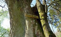 Die Hexenlinde bei Klings: Geschichten und Sagen zur Walpurgisnacht