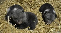 Dreifaches Bärenglück im Wildpark Knüll - Luchse wieder da