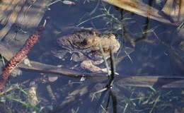 Huckepack im Teich - Kröten und Frösche in Hochzeitsstimmung