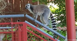 Schrecksekunde im Garten: Affe in Somborn gesichtet - Polizei vor Ort