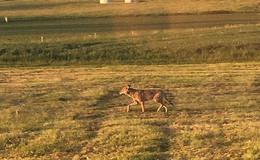 Schutz vor dem Wolf: Hessen bezahlt nun Herdenschutzprämie